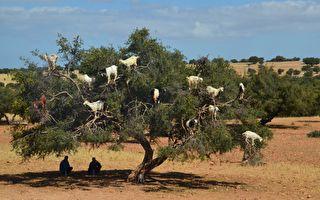 一群山羊爬上了大树 后面藏着一个想不到的秘密