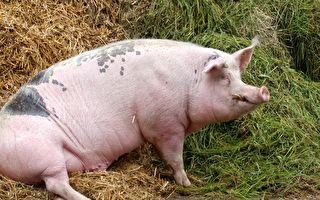 大豬不滿被人欺 果斷摔倒男主人