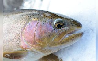 大魚在冰湖上垂死掙扎 釣客做了一件事讓網友大吃一驚
