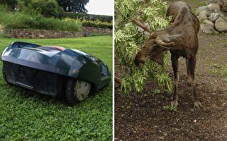 麋鹿偷吃果子 主人用除草車來嚇唬牠 沒想到……