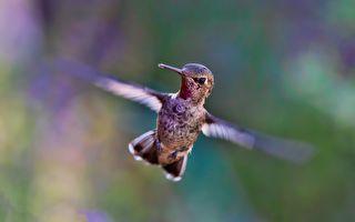 三十只蜂鸟集体洗澡 你能想像是什么样?