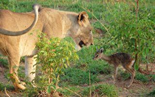 """母狮与羚羊宝宝""""亲子互动"""" 摄影师连忙抓相机"""