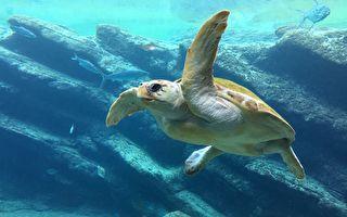 他们放生海龟前做了检查 没想到竟发现了…