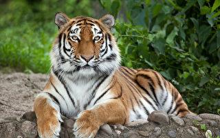 多倫多動物園:熊貓走了 東北虎會來