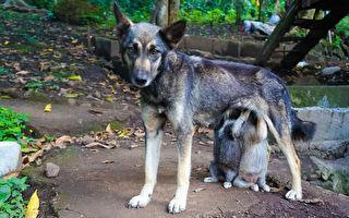 狼狗媽媽捨身嚐毒救下30多人 義舉至今爲人傳頌