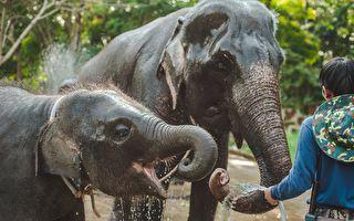 神奇一幕!男子大声呼唤 一群大象听懂了飞奔而来