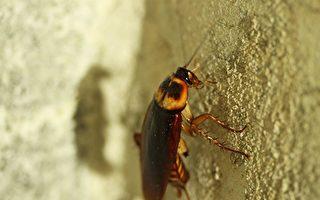 蟑螂的生存能力再次說明進化論不合理