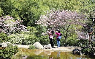 舊金山南灣箱根公園櫻花盛開 賞櫻正當時