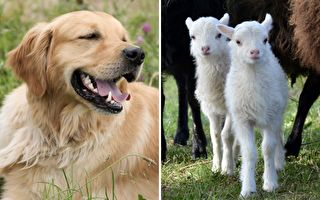 牧羊犬不好当 竟然要兼差羊保母
