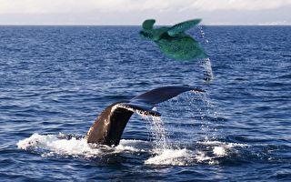 罕见一幕 杀人鲸将海龟抛到空中 逗弄完后…
