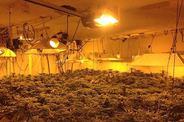 美国北加州查获100大麻屋 中国黑帮涉案