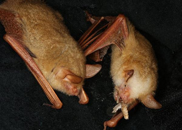 亞洲唯一黃金蝙蝠館迎嬌客 金黃鼠耳蝠飛臨