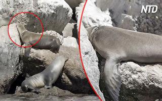 海狮受困礁石 他们看清缠绕物后 掏出一杆枪