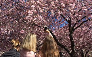 5月没樱花赏? 这个国家超美樱花大爆发