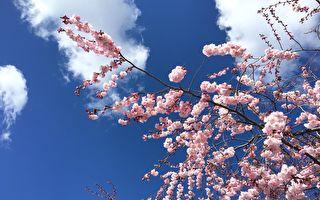 还想赏樱? 别错过这个国家的超美樱花