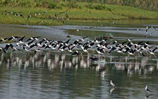 春季赏鸟别错过 高跷鸻大军群聚新竹金城湖