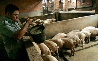前景堪憂 大陸豬農養一頭豬虧300元