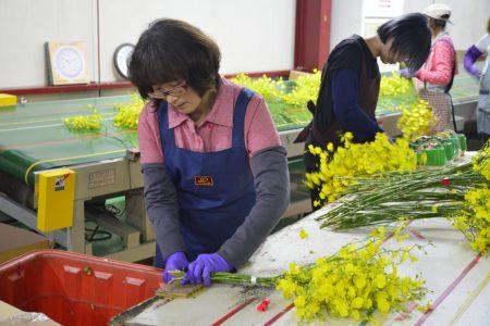 文心蘭包裝場的員工以人工選材分類後,再包裝保鮮外銷日本。