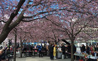 五月没樱花赏? 这个国家的樱花大爆发