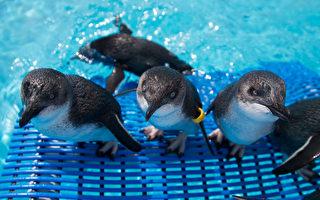 20年一遇 新西兰数百企鹅被冲上岸
