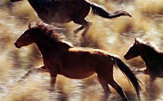新西蘭300餘野馬過剩 你不想領養嗎?