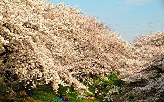 组图:没到日本赏樱 不要说你看够了樱花!