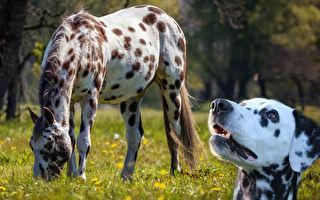 小斑點狗看到斑點馬跑過去 做的事超好笑