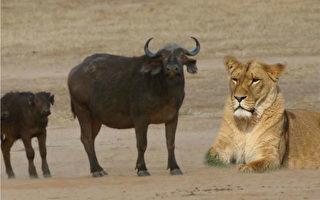 大水牛豁出性命 追着狮子要救小牛!