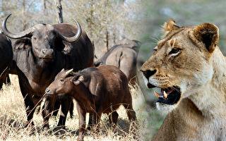 大水牛豁出性命追着狮子要小牛 千钧一发之际出现奇迹