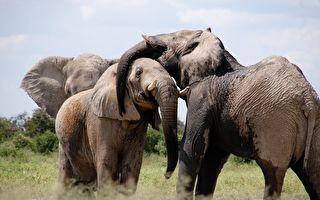 盲眼大象來到新家 象鼻子「擁抱」一幕讓人挪不開眼