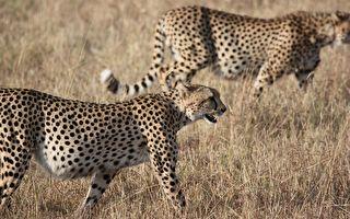 二男子下車餵食30隻獵豹 看後不會想試身手