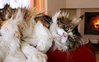 紐約最壯貓咪身長1米多 愛看iPad 出門要坐娃娃車