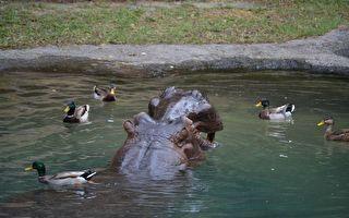 河马帮鸭帮到底 小鸭掉到水池里 无法到岸上和妈妈会合 河马这样帮它……好温馨喔!