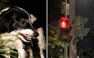 狗狗站在路口等红灯 下一秒发生的事 让人目瞪口呆!