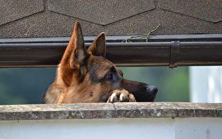 為監視主人在隔壁院子幹啥 兩隻狗狗配合幹了件奇事