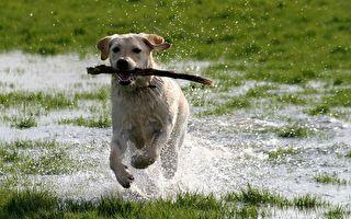 同伴被急流冲走 阿根廷小狗挺身相救