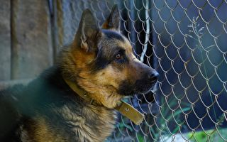 可憐狗狗頭卡鐵柵欄 幾個大漢摀住牠的眼睛解救