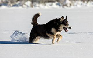 小狗突然狂叫 原来是一只巨大动物困在冰湖里