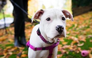 小比特犬從死亡邊緣獲救 現在牠能認出救命恩人嗎?