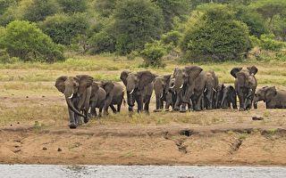 一群笨重大象要下坡 使出渾身解數各顯「神通」
