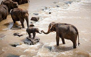 好暖!恩人水中「呼救」 象寶寶衝下河救他上岸