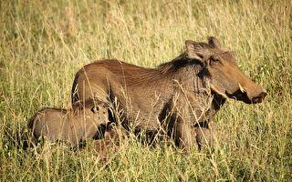 兩獅子辛苦刨洞捉疣豬 到手獵物發力巧突圍