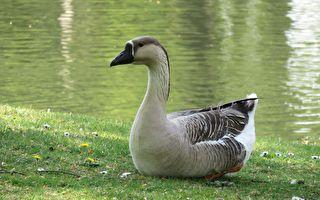 大鵝坐奶奶膝頭「說」不停 獲回應後 牠的舉動如此深情!