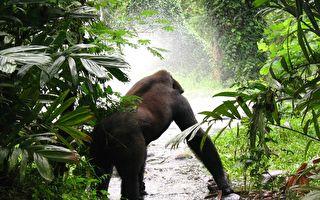 困在激流中的猩猩绝望了 幸好这个男人想到妙招救它