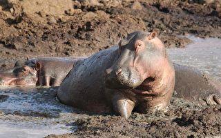 大熱天下小河馬陷泥沼 動物組織緊急救援!