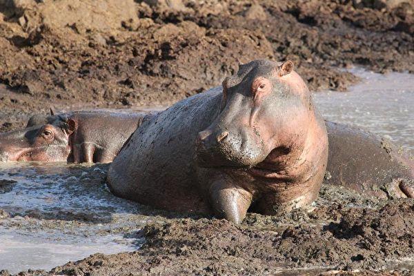 大热天下小河马陷泥沼 动物组织紧急救援!