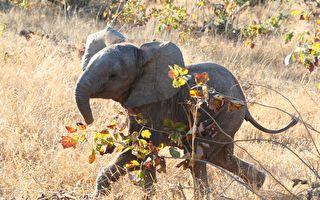 林中小象站立不穩 他們趕來後意識到原因
