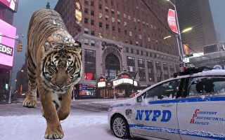 警鈴大作 民眾:街上有老虎!美警全副武裝 發現竟是一隻⋯