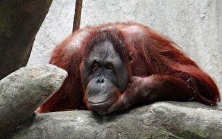 母猩猩被锁笼中遗弃工地 当救星到来难掩感激