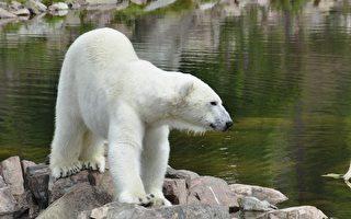 北极熊走近水边歇息的狗狗 抬爪做的事让人惊掉下巴
